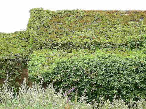 A roof completely covered in ivy growth.