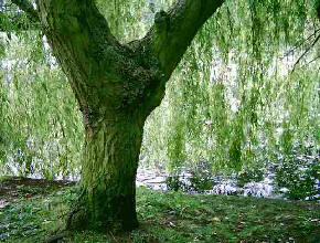 Willow tree with trunk and leaves