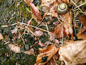 A tiny snail seemingly lost among the leaves