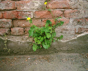 Brick wall with a flower growing in it