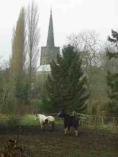 Two shire horses with a church spire and tall trees
